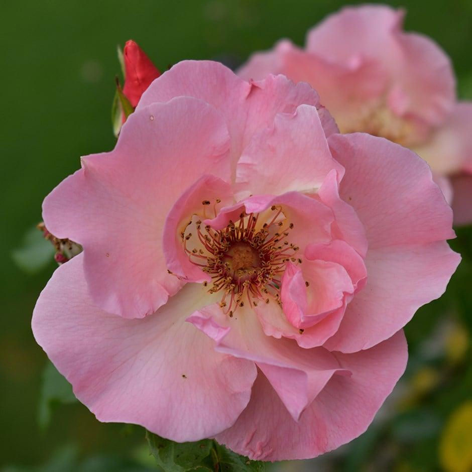 rose Special Anniversary (hybrid tea)