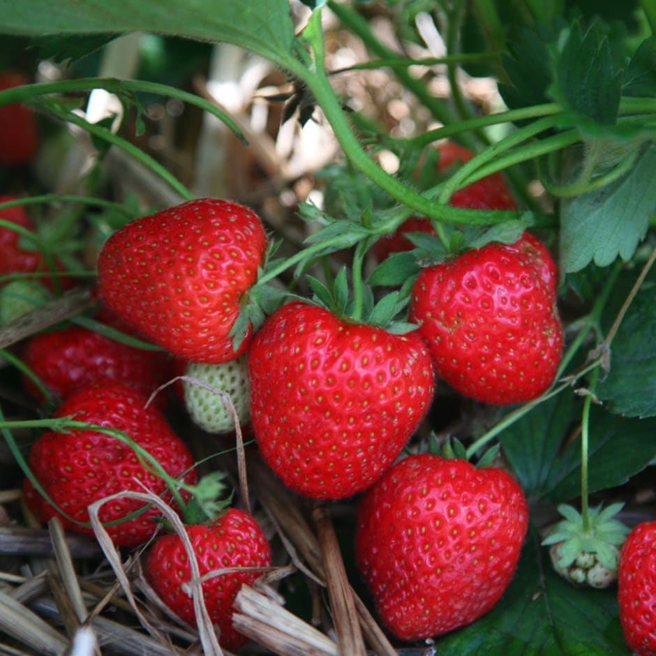strawberry - late season fruiting