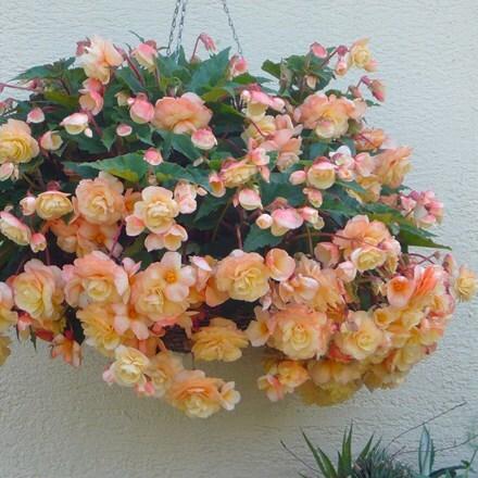 Begonia Champagne