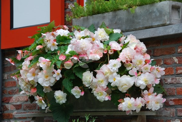 <i>Begonia</i> 'Mother's Day'