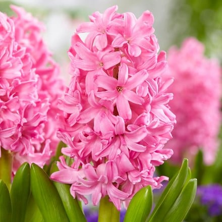 Hyacinthus orientalis Pink Pearl