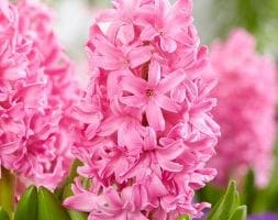 garden hyacinth bulbs