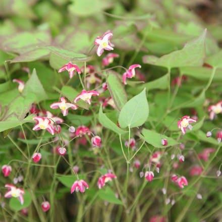 Epimedium × rubrum