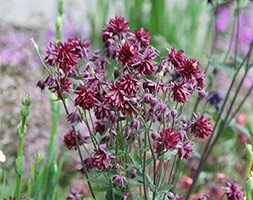 Aquilegia vulgaris var. stellata Ruby Port
