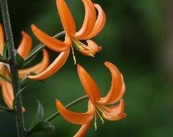 turkscap lily bulb