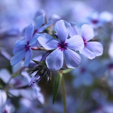 Phlox divaricata subsp. laphamii Chattahoochee