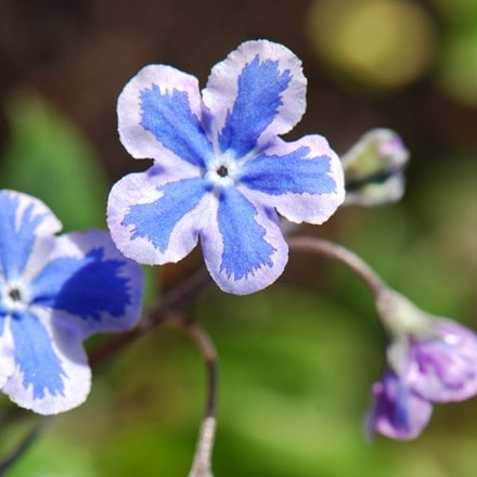 Omphalodes cappadocica Starry Eyes