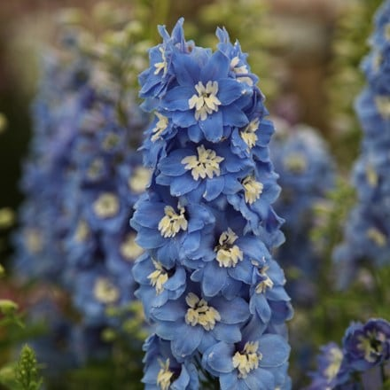 Delphinium Summer Skies Group