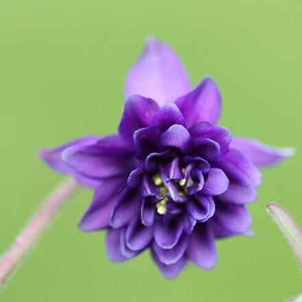 Aquilegia vulgaris var. stellata Blue Barlow (Barlow Series)