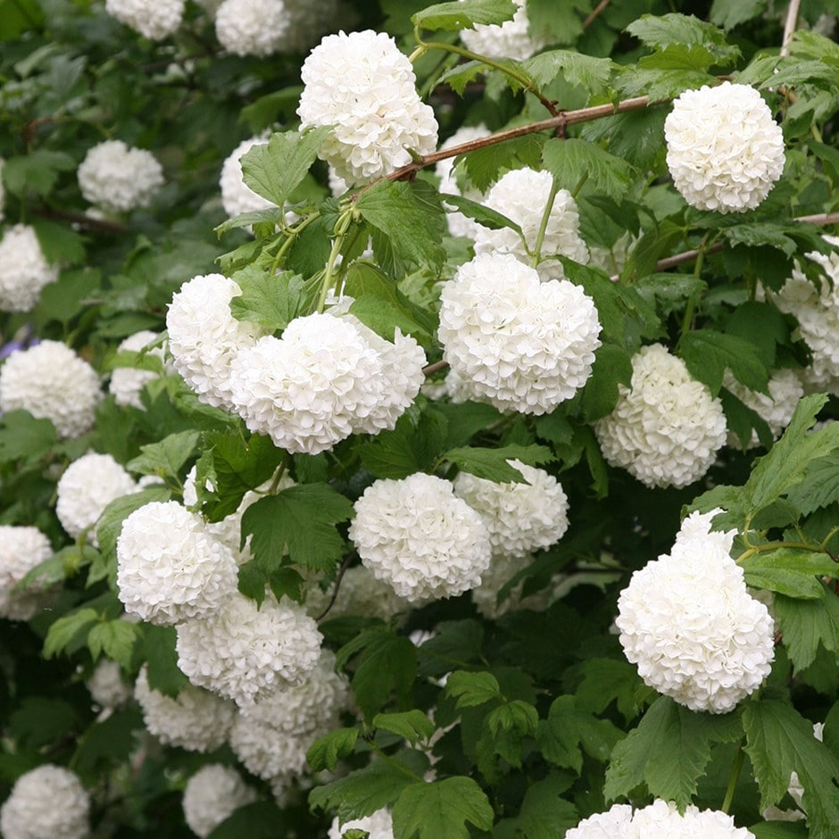 Buy Snowball Tree Syn Sterile Viburnum Opulus Roseum 6499