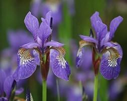 Siberian iris ( syn Iris sibirica Tropic Night )