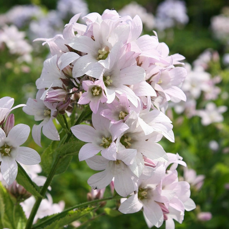 Buy Milky Bellflower Campanula Lactiflora Loddon Anna 599