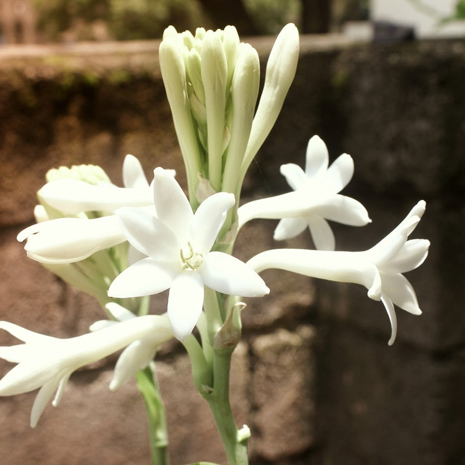 Buy hawaiian garland flower tuberose polianthes tuberosa 599 zoom izmirmasajfo
