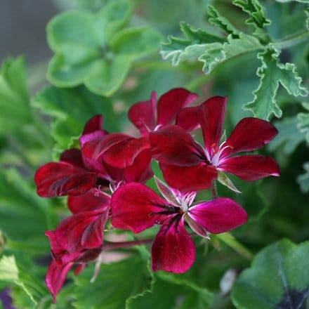 Pelargonium Choun Cho