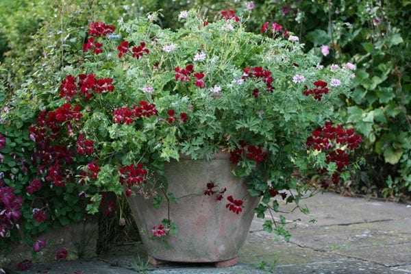 buy ivy leaved pelargoniums pelargonium choun cho delivery by crocus. Black Bedroom Furniture Sets. Home Design Ideas