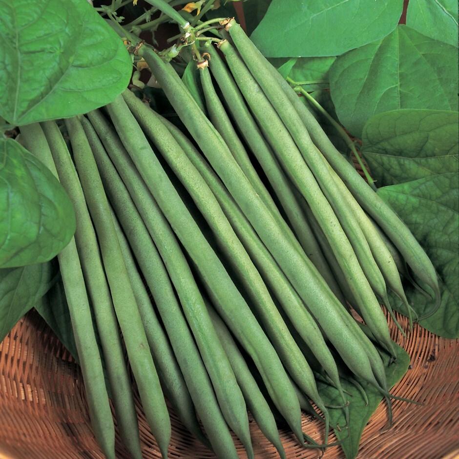 dwarf french bean / Phaseolus vulgaris 'Sprite'