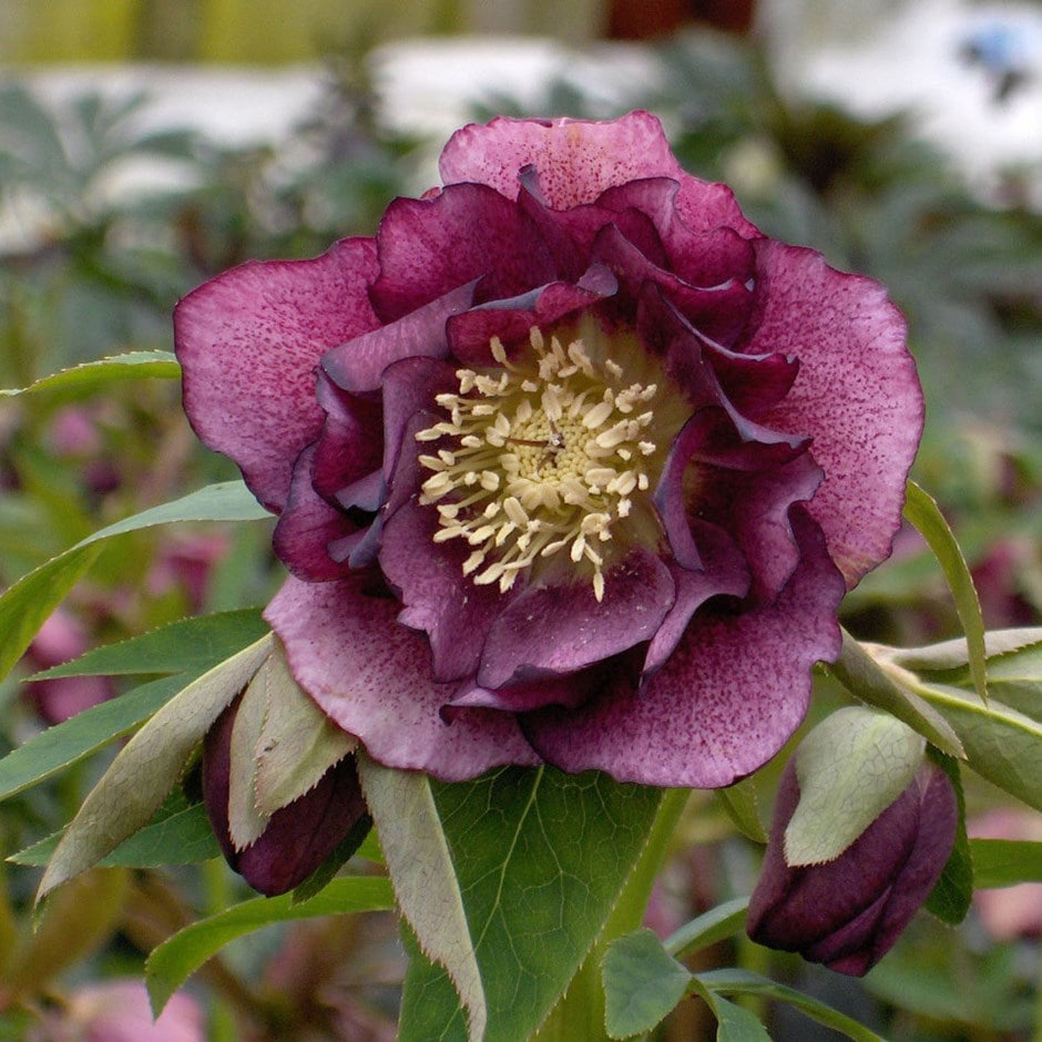 hellebore Double Ellen Red