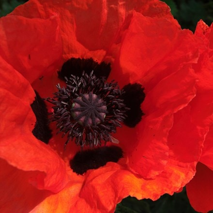 Papaver orientale (Goliath Group) Beauty of Livermere