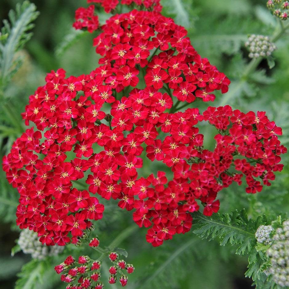 Buy Yarrow Achillea Millefolium Red Velvet 163 5 99 Delivery