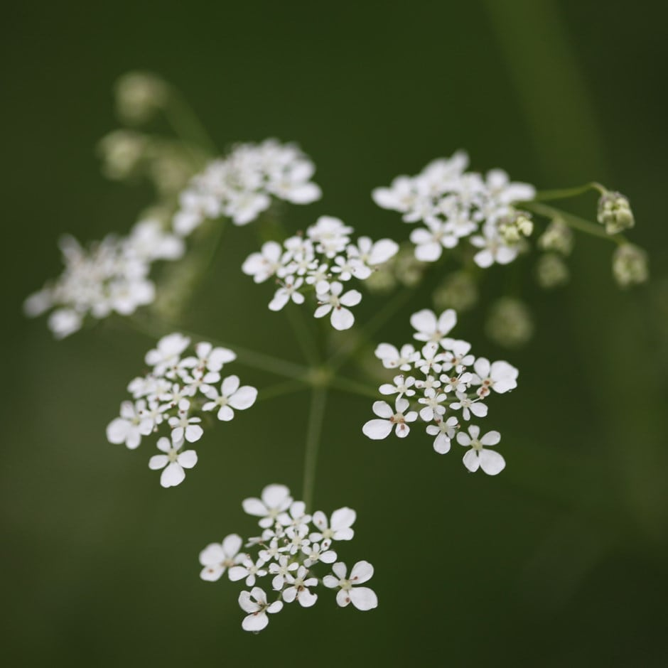 Buy Cow Parsley Anthriscus Sylvestris 163 6 99 Delivery By