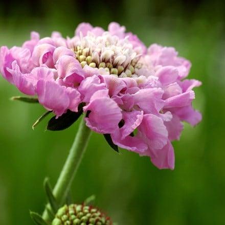 Scabiosa Pink Mist (PBR)