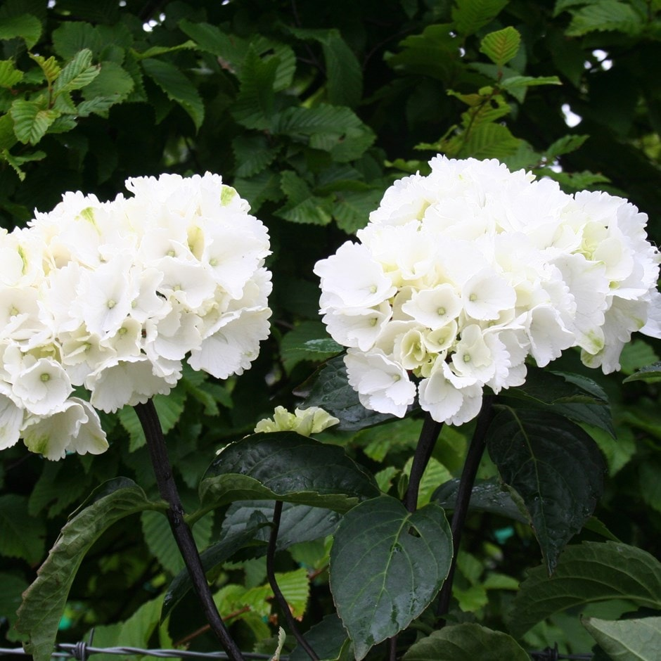 Picture of Live Bigleaf Hydrangea aka Hydrangea mac. 'White' Plant Fit 1 Gallon Pot