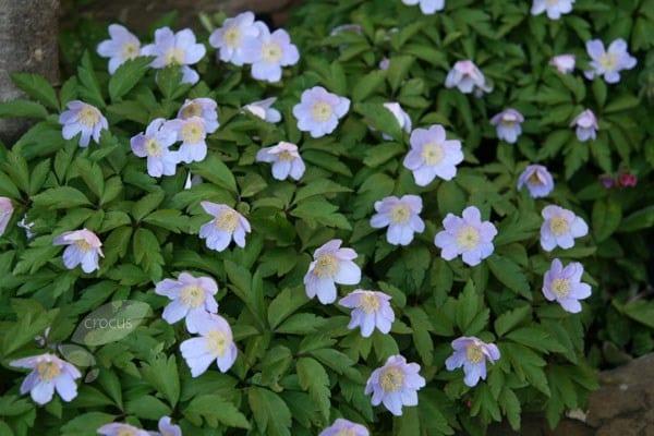 Buy Windflower Bulbs Anemone Nemorosa Robinsoniana 163 4 79