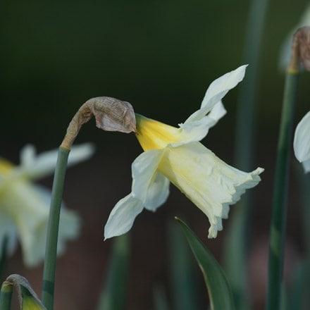 Narcissus W.P. Milner