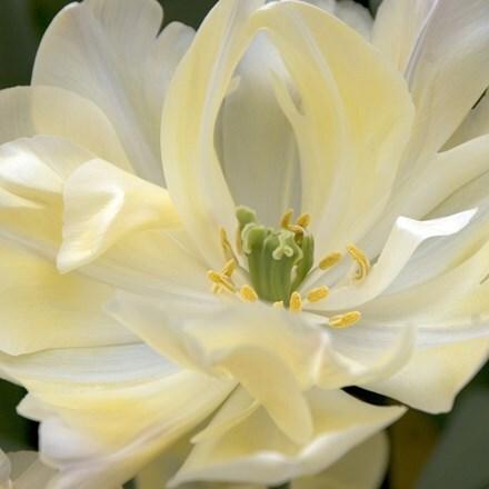 Tulipa Crème Upstar