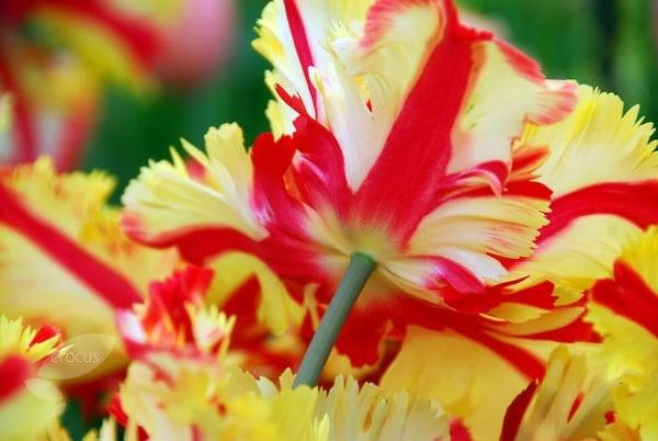Buy Parrot Tulip Bulbs Tulipa Flaming Parrot 163 4 99
