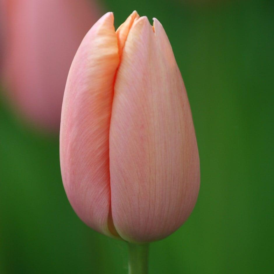 single late tulip bulbs