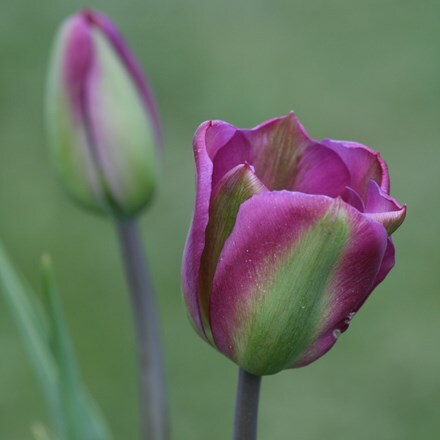 Tulipa Violet Bird