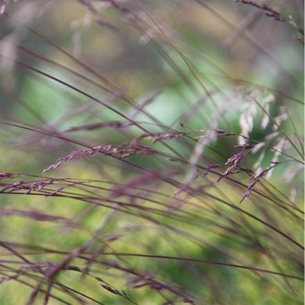 Festuca amethystina