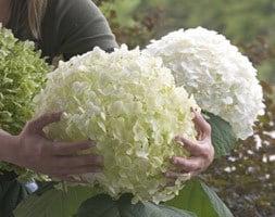 Hydrangea arborescens Incrediball ('Abetwo') (PBR)