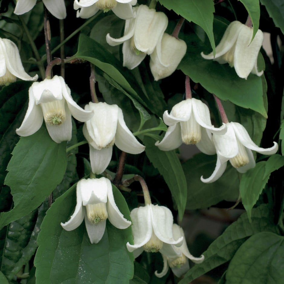 clematis (group 1)