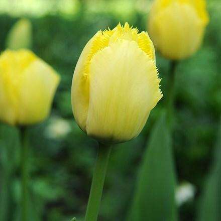 Tulipa Fringed Elegance