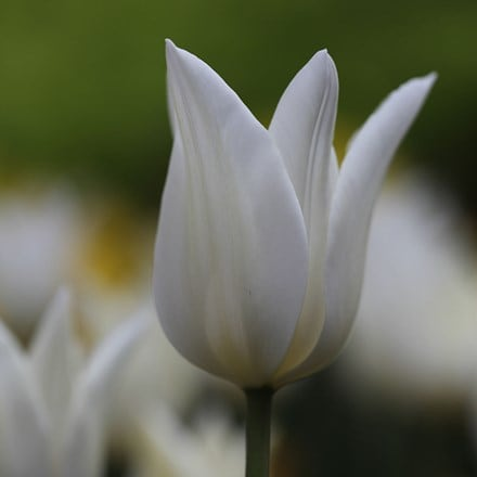 Tulipa White Triumphator - XL Landscaping pack