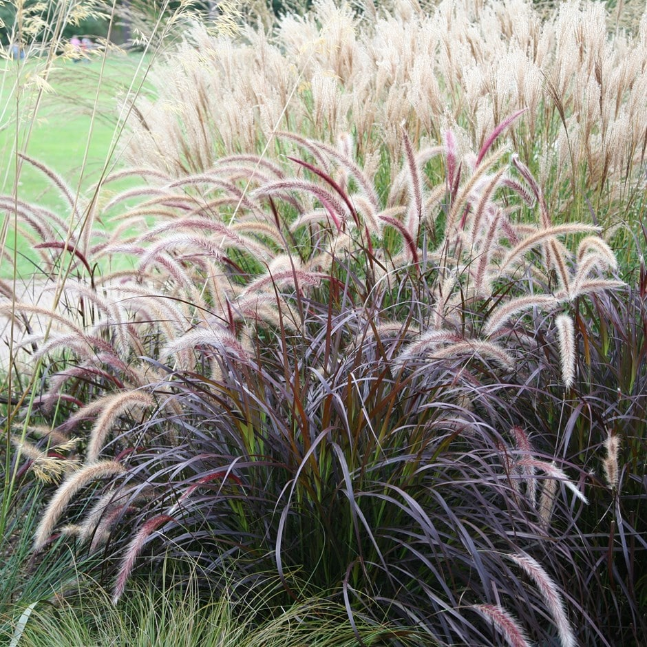 Buy fountain grass syn setaceum 39 rubrum 39 pennisetum for Fountain grass