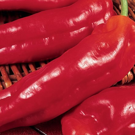 pepper Long Red Marconi