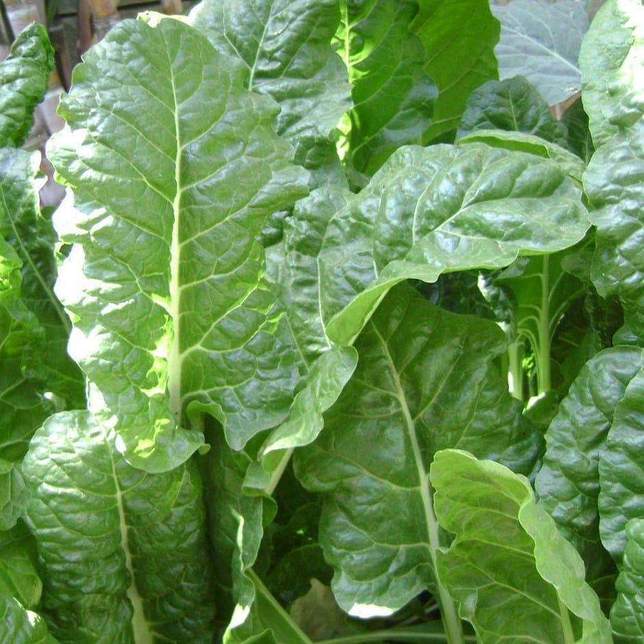 perpetual spinach / Beta vulgaris subsp. cicla var. cicla