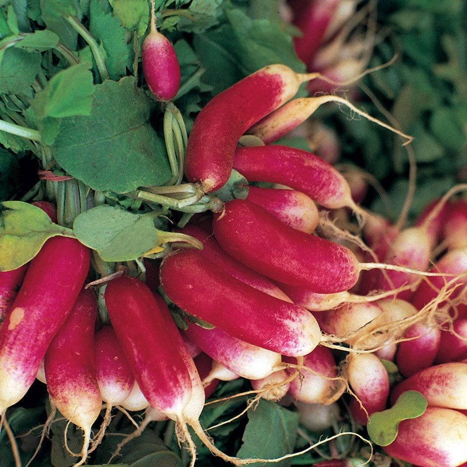 radish / Raphanus sativus 'French Breakfast 3'