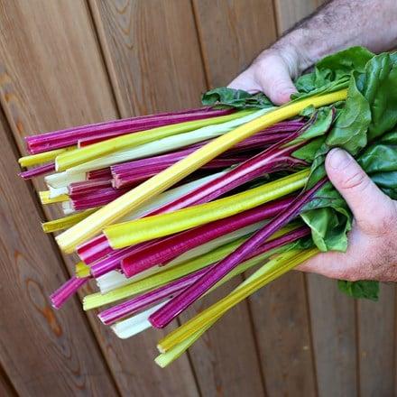 leaf beet Rainbow Chard