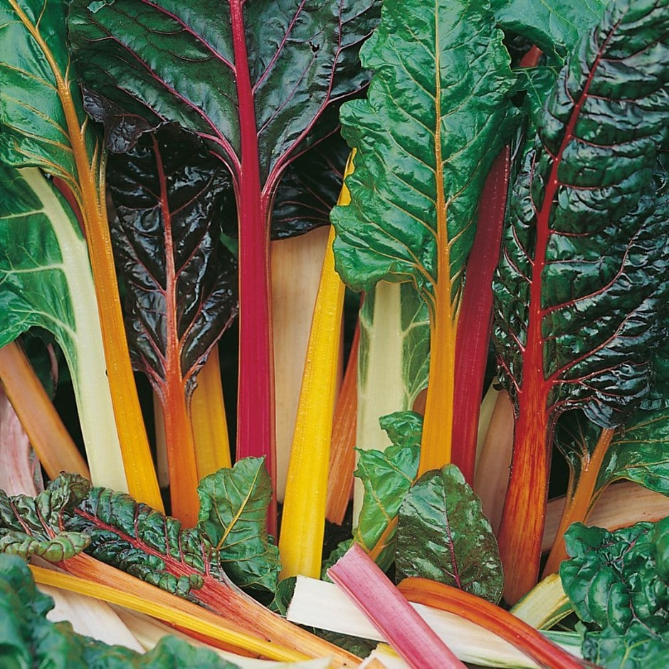 Buy Rainbow Chard Or Beta Vulgaris Subsp Cicla Var Flavescens Leaf Beet Rainbow Chard 2 49 Delivery By Crocus