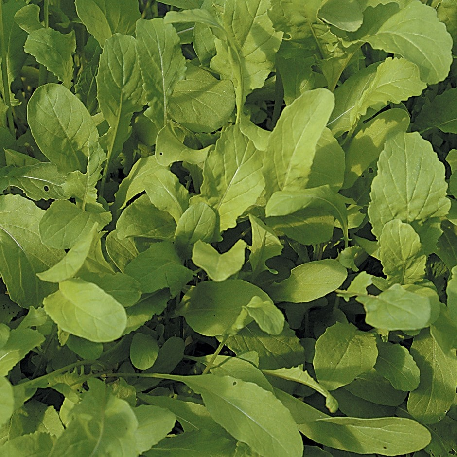 salad rocket or Eurica sativa