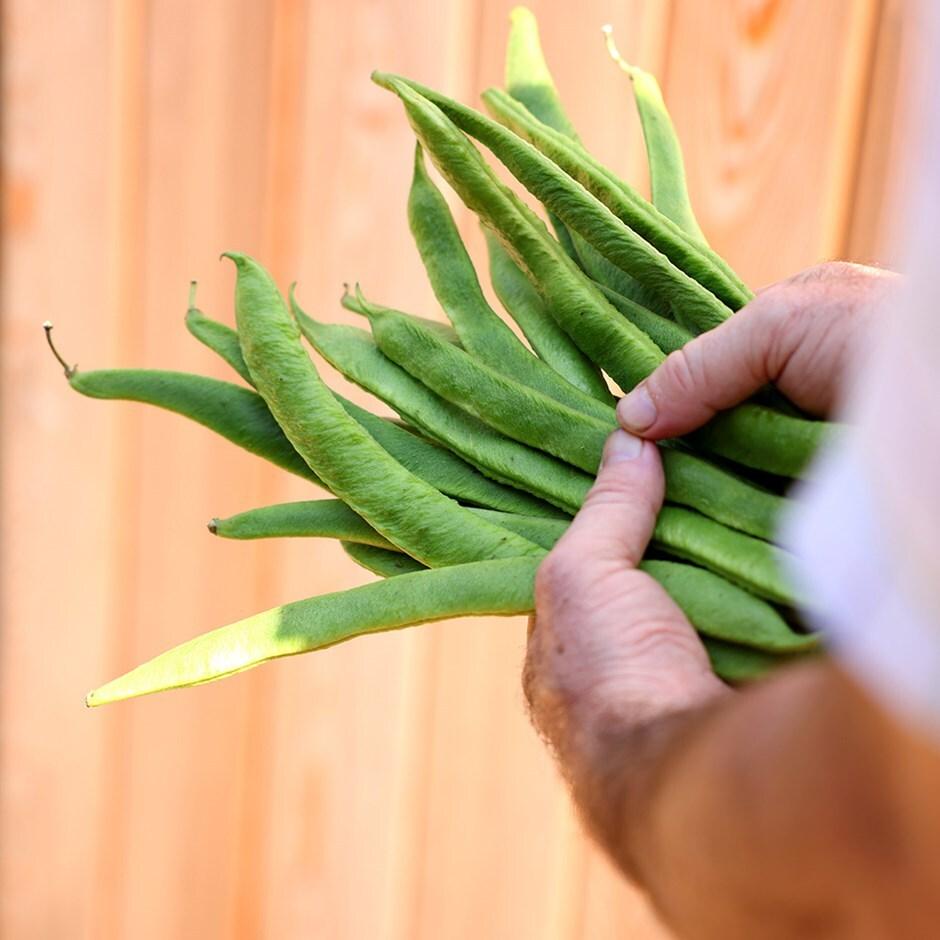 runner bean / Phaseolus coccineus 'Lady Di'