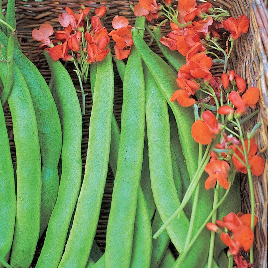 runner bean or Phaseolus coccineus 'Lady Di'