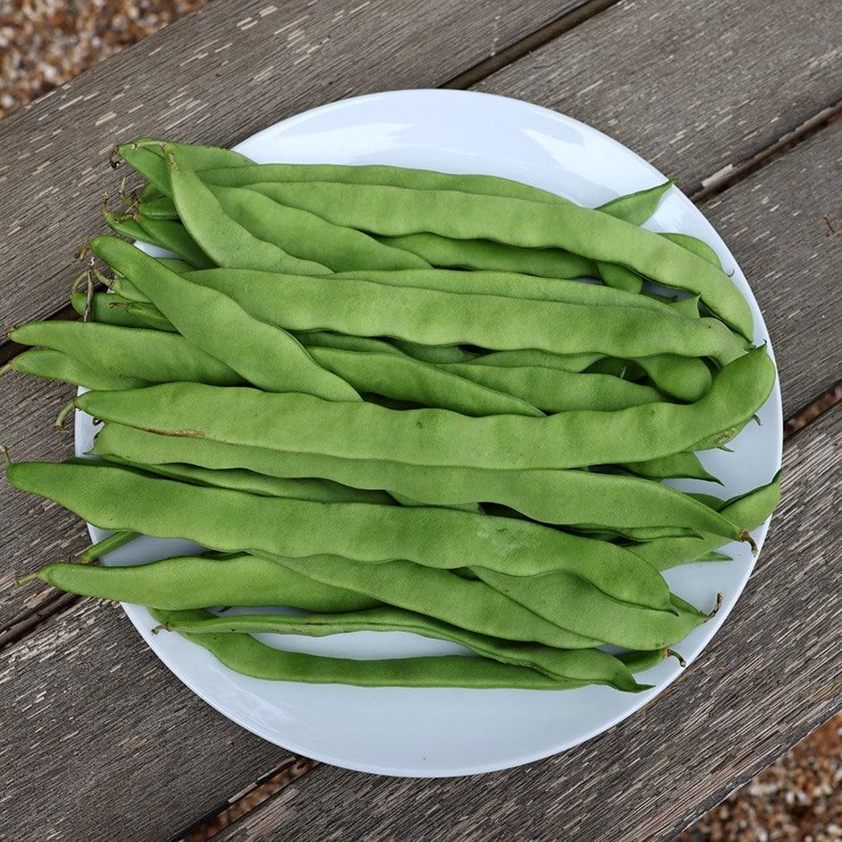 runner bean / Phaseolus coccineus 'Scarlet Emperor'