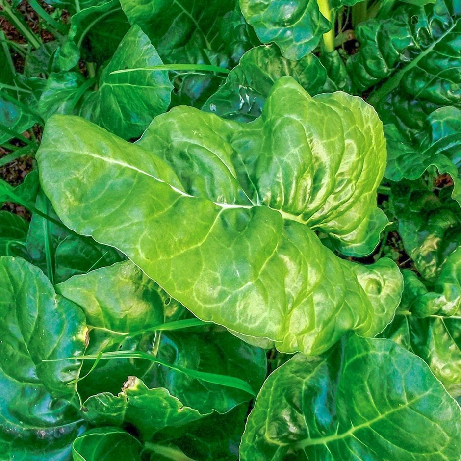 spinach / Spinacia oleracea 'Giant Winter'