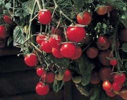 tomato Gartenperle