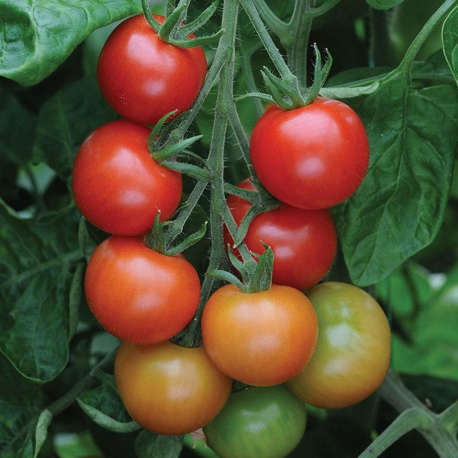 cherry tomato  / Solanum lycopersicum'Gardeners Delight'
